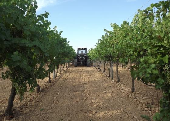 Cambronero vineyard