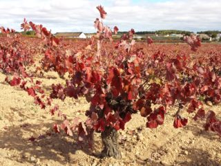 Spanish vineyard with red leaves about to fall in Autumn