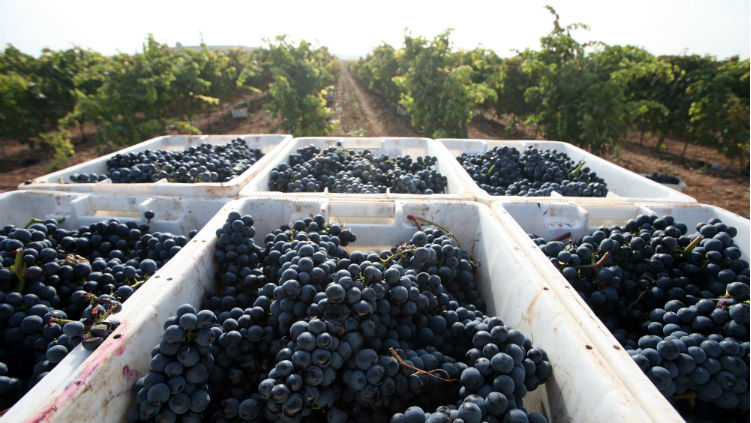 Grape harvest at Marques de Teran